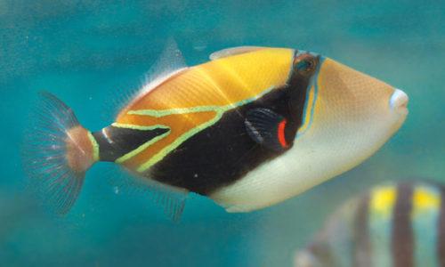 Reef Triggerfish 620